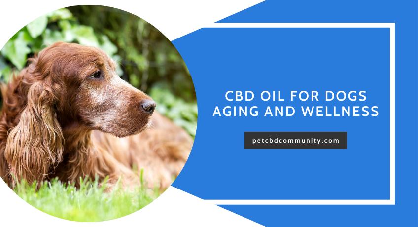 Can-CBD-Oil-Help-Senior-dogs