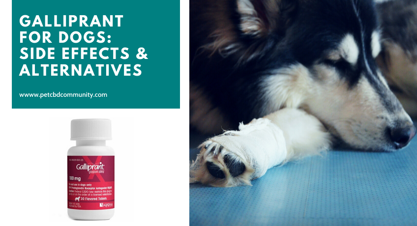 Galliprant-For-dogs-side-effects-and-alternatives