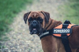 boxer breed health information