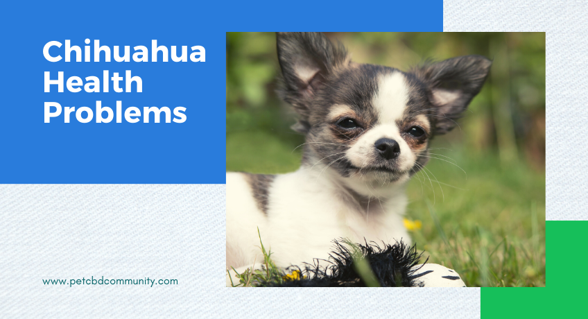 Chihuahua-health-problems-and-breed-information-