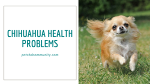 Chihuahua health problems and breed information
