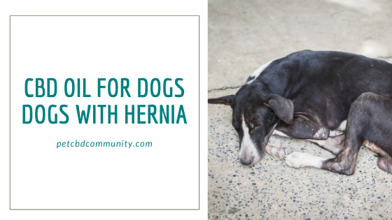 Cbd oil for dogs hernia