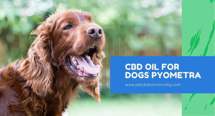cbd-oil-for-dogs-pyometra
